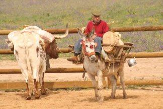 Toro y burro en a campo abierto