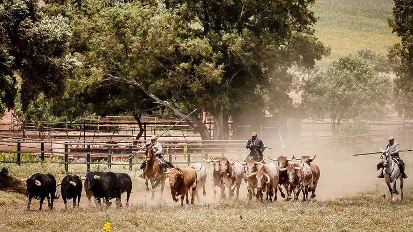 Toros de la ganadería torrestrella en a campo abierto